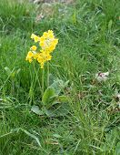 picture of cowslip  - Yellow primrose flower closeup in green grass - JPG