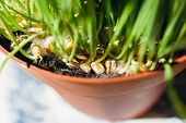 stock photo of laxatives  - Cat grass or pet grass in pot  - JPG