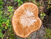 foto of cutting trees  - Recently cut tree stump in the woods - JPG