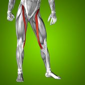 stock photo of human muscle  - Concept or conceptual 3D human upper leg anatomy or anatomical and muscle on green gradient background - JPG