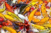 stock photo of koi fish  - Koi Fish swimming beautiful color variations natural organic  - JPG