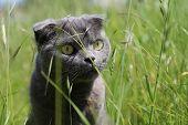 picture of scottish-fold  - Gray Scottish fold kitten  on the green meadow - JPG