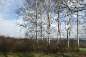 picture of bohemia  - Birch grove in Northern Bohemia - JPG