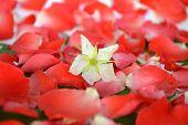 stock photo of jamaican  - Jamaican cherry flower on rose petal background - JPG