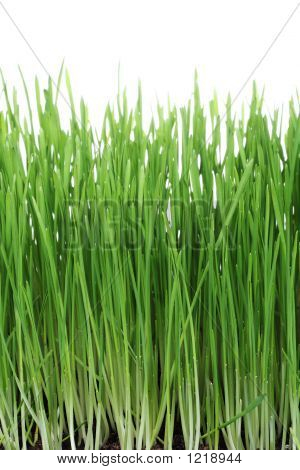 Picture or Photo of Green grass isolated on clear white background