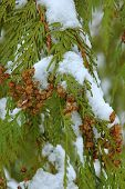Snow On Pine Tree Leaves