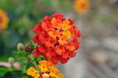 Spanish flag flower (lantana camara)