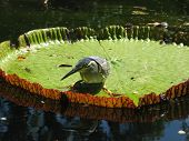 Green Backed Heron on lilly pad