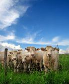 cattle in a grass field