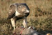 Red Tailed Hawk Eating