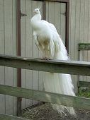 A White Peacock