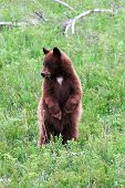 Yellowstone Bear1