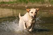 stock photo of golden retriever puppy  - Labrador retriever jumping in the water - JPG