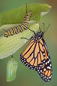 stock photo of chrysalis  - A monarch butterfly caterpillar and chrysalis are displayed in the same image - JPG