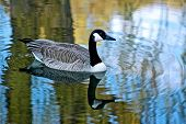 stock photo of canada goose  - a picture of a goose taken on a like in wisconson - JPG