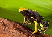 pic of orange poison frog  - orange and black poison dart frog - JPG
