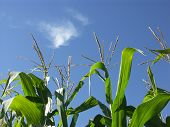 Corn Stalks In Blue Sky