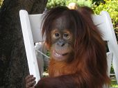 picture of baby animal  - baby orangutan smiling for the camera - JPG