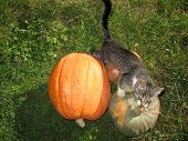 Cat Among Pumpkins