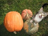 Cat At Pumpkins
