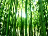 stock photo of bamboo forest  - the sun filtering through a forest of bamboos - JPG