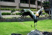 Grey Crowned Crane Near Pond