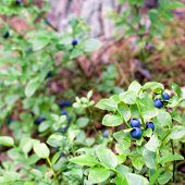 Wild blueberries growing in forest