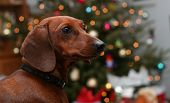 Miniature Dachshund In Front Of Blurred Christmas Tree