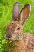 Snowshoe Hare Feeding On Grass
