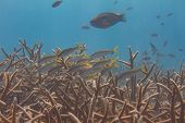 Yellow Goatfish Over Critically Endangered Staghorn Coral poster
