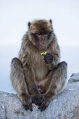 The Gibraltar Monkey