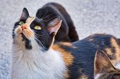 Close-up Photo Of Three Color Stray Cat, Beautiful Female Kitty poster