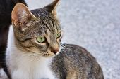Close-up Photo Of A Grey And White Stray Cat, Young Male Cat With Green Eyes poster