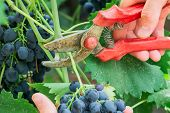 Farmers Gather Crop Of Grapes On Ecological Farm. Man Picking Red Wine Grapes On Vine In Vineyard.ha poster