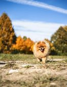 Beautiful Pomeranian Dog In Autumn Park. Autumn Dog. Dog In Autumn Park poster