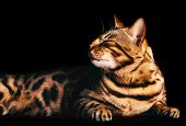 Bengal cat portrait on black background. Smiling, eyes closed. Purebred poster