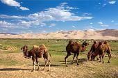 Deserto de dunas de camelos - Mongólia
