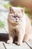 British Shorthair Cat Is Walking Outside In The Garden And Is Enjoying Warm Weather poster