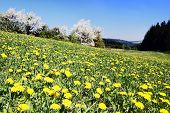 meadow with common dandelions
