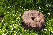 Ancient Millstone On Grass Lawn And Daisy Flowers