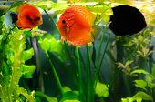 picture of diskus  - Three discus fish in the beautiful aquarium - JPG