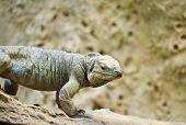 Rhinoceros Iguana Cyclura Cornuta Lizard
