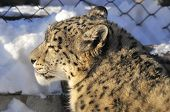 stock photo of panthera uncia  - The snow leopard  - JPG