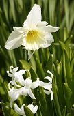 image of jonquils  - a white jonquill flower and green foliage in sunny ambiance - JPG