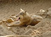 Tibetian Wolf
