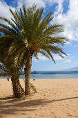 palms of  las Teresitas beach, Tenerife, Spain