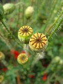 Poppy seed bolls against green grass