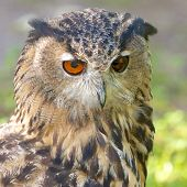 Eagle Owl On The Watch