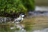 Great tit taking a bath