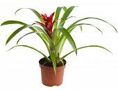 Bromeliad plant in flowerpot (Guzmania)